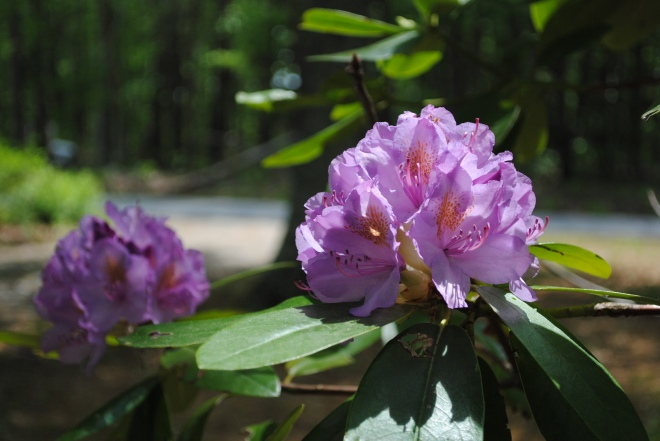 rhododendron 007