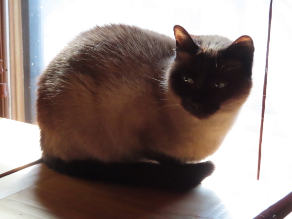 This is a test shot of Sunshine, a Siamese cat, perched in a window